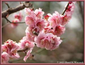 Mar30_035_KyodonomoriPark_PlumBlossomsRC