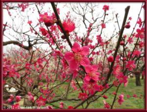 Mar30_043_KyodonomoriPark_PlumBlossomsRC