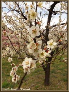 Mar30_049_KyodonomoriPark_PlumBlossomsRC