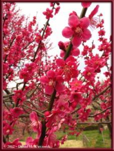 Mar30_057_KyodonomoriPark_PlumBlossomsRC