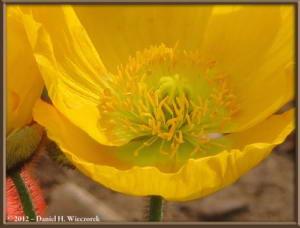 Mar30_072_KyodonomoriPark_PoppyFlowersRC