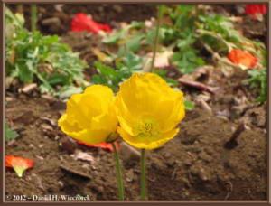 Mar30_076_KyodonomoriPark_PoppyFlowersRC