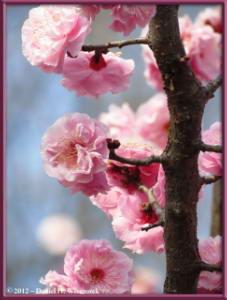 Mar30_104_KyodonomoriPark_PlumBlossomsRC