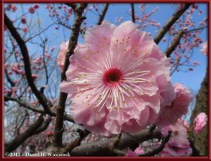 Mar30_109_KyodonomoriPark_PlumBlossomsRC