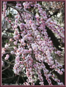 Mar30_125_KyodonomoriPark_PlumBlossomsRC