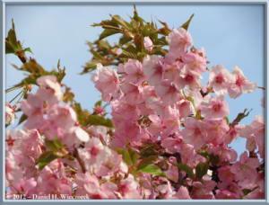 Mar30_135_NearKyodonomoriPark_CherryBlossomsRC