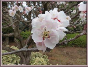Mar03_012_JindaiBG_PlumBlossomsRC