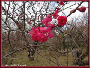 Mar03_058_JindaiBG_PlumBlossomsRC