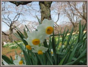Mar08_012_ShinjukuGyoenPark_DaffodilsRC