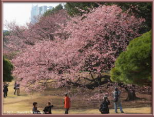 Mar08_033_ShinjukuGyoenPark_EarlyCherryRC