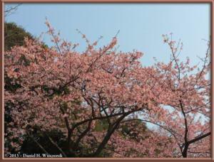 Mar08_036_ShinjukuGyoenPark_EarlyCherryRC