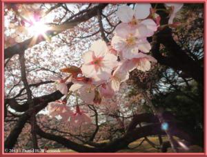 Mar08_057_ShinjukuGyoenPark_EarlyCherryRC