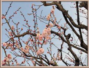 Mar08_093_ShinjukuGyoenPark_PlumBlossomsRC