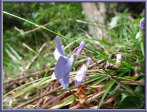 Mar15_07_MtYagura_MtKintoki_Viola_grypocerasRC