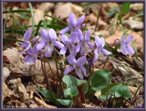 Mar20_50_NogawaPk_Viola_japonicaRC
