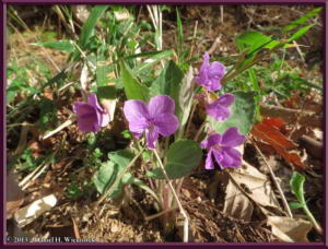 Mar23_002_MinamiTakao_Viola_phalacrocarpaRC
