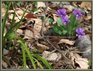 Mar23_064_MinamiTakao_Viola_phalacrocarpa_Cymbidium_goeringiiRC
