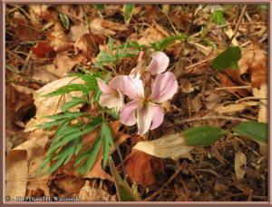 Mar23_129_MinamiTakao_Viola_eizanensisRC