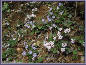 March22ndMtTakao108_ViolaTokubuchianaVarTakedanaRC