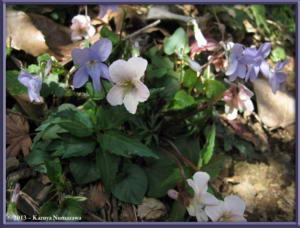 March22ndMtTakao164_ViolaEizanensisAndGrypocerasRC