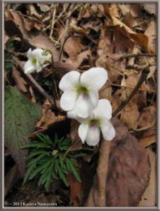 March23MinamiTakao085_ViolaChaerophylloidesFSieboldianaRC
