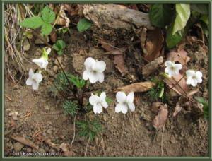 March23MinamiTakao086_ViolaChaerophylloidesFSieboldianaRC