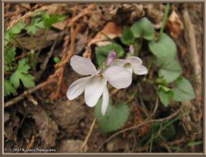 March23Oodarumi135_ViolaGrypocerasFPurpurellocalcarataRC