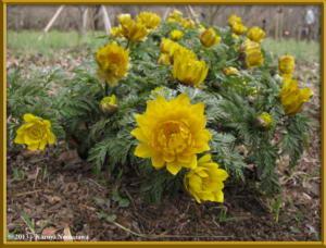 March3rd_JindaiBG025_AdonisAmurensisRC