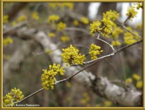 March3rd_JindaiBG031_CornusOfficinalisRC