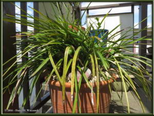 March27_03_Porch_Cymbidium_goeringiiRC