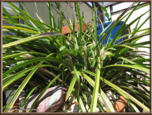 March27_04_Porch_Cymbidium_goeringiiRC