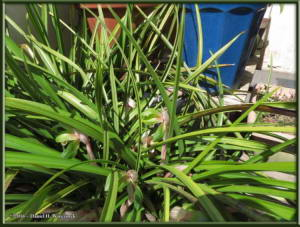 March27_05_Porch_Cymbidium_goeringiiRC
