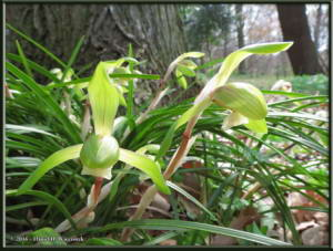 March27_07_NogawaPk_Cymbidium_goeringiiRC