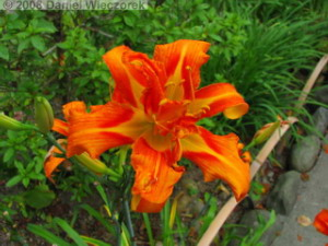 Jul26_Sawai_DayLily01RC.jpg