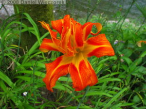 Jul26_Sawai_DayLily02RC.jpg