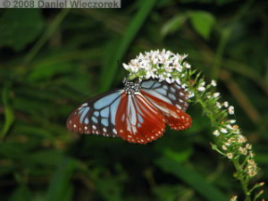 Jul29_Takao_TigersTailFlower13_ButterflyRC.jpg