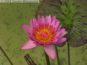 Jul3_JindaiBG077_WaterLilyRC.jpg