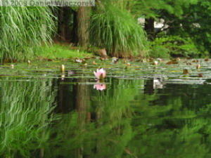 Jul3_JindaiBG095_Pond_WaterLily_ReflectionRC.jpg