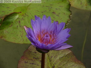 July3rd_JindaiBG051_WaterLilyRC.jpg