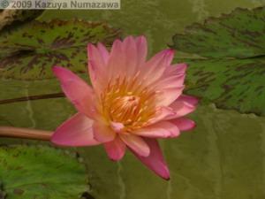 July3rd_JindaiBG052_WaterLilyRC.jpg