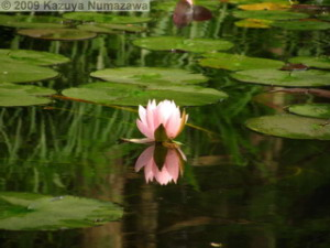 July3rd_JindaiBG059_Pond_WaterLily_ReflectionRC.jpg
