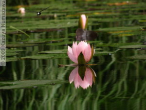 July3rd_JindaiBG067_Pond_WaterLily_ReflectionRC.jpg
