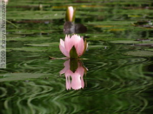 July3rd_JindaiBG069_Pond_WaterLily_ReflectionRC.jpg