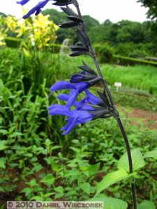 Jul02_39_JindaiBG_Salvia_guananticaRC