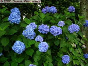 Jul02_43_JindaiBG_Blue_HydrangeaRC