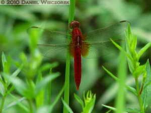 Jul04_16_JindaiAquaticBG_RedDragonflyRC