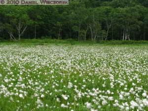 Jul09_258_OzeNP_CottongrassRC