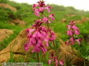 Jul10_092_Oze_MtShibutsu_Pedicularis_verticillataRC