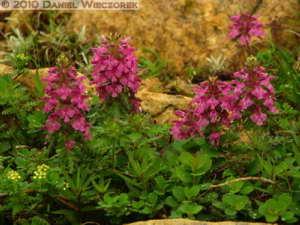 Jul10_132_Oze_MtShibutsu_Pedicularis_verticillataRC