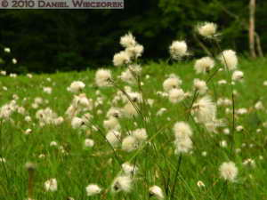Jul10_414_Oze_YamanohanaArea_Cottongrass_Eriophorum_vaginatumRC